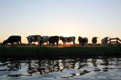 Koeien - Kaag